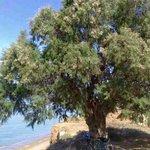 Det enslige treet