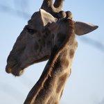 Gigantic giraffe