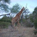 Giraffe on the move