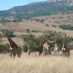 The giraffes living on the ranch