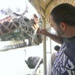 nice to feed a giraffe