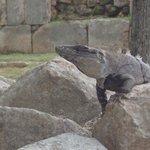 População de enormes iguanas