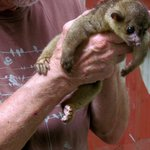 a kinkajou at the animal sanctuary