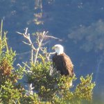 Breakfast Bald Eagle