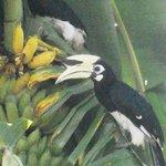 Hornbill's in Cocos bananatree
