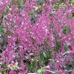 Pink Nelu flowers