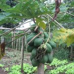 Papaya growing in the natural garden. So delicious!