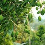 Mango trees overhanging the balcony