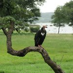 Giant Red-Headed Eagle