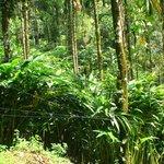 Cardamon plantation