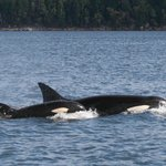 Orca whale watching Aug 2013 - near Valdez Island