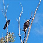 raven and bald eagle