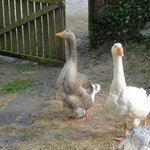 Geese from the Gite window
