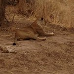 mama and baby - Lion Camp