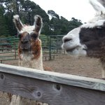 Visiting the llamas
