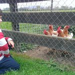 Playing with the chickens