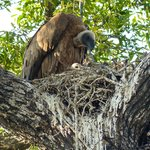 Vulture and Chick