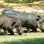 Warthog - Rob C