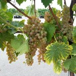 tour- vinyard