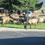 Elk grazing outside our room at Murphy's Resort, Estes Park