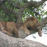 I Ishasha i Uganda lever de sjældne træklatrende løver.