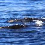 Wale vor De Kelders