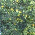 One of the lovely orange tree's