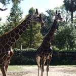 Up and close with the giraffes