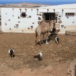 Camels Goats and chickens all living happily together