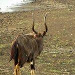 male nyala rather thin