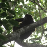 Howler monkey above our room