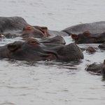 pod of hippos