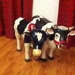 vacas en el cuarto!