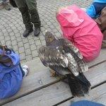 Adlerwarte Berlebeck steppe eagle interacting with children