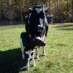 Baby calf born Oct. 16, 2013