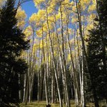 Golden aspens along the Inner Basin Trail
