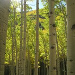 Aspens along the Inner Basin Trail.