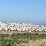 gannets of Bird Island