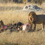 Lions on Elephant Kill