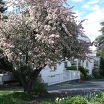 crabapple tree in full bloom October 2013