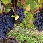 2013 grapes