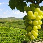 Weinreben am Schlossberg, wo die besten Weine wachsen