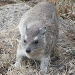 Hyrax at Mbuzi Mawe