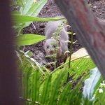 Mongoose in garden