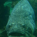 one of the giant groupers posing for me