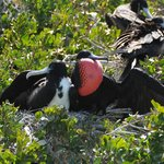 A glimpse of breeding Magnificent Frigatebirds.  The male has the red pouch.