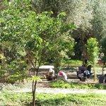 ramasage des olives