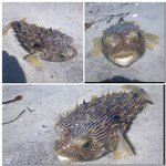 This poor guy washed ashore, but cool looking!