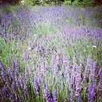 Wild Lavender Fields