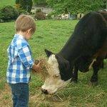 Feeding the mini cows.